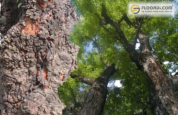 Cây gỗ tự nhiên Căm Xe có thân lớn thường cao trên dưới 30m