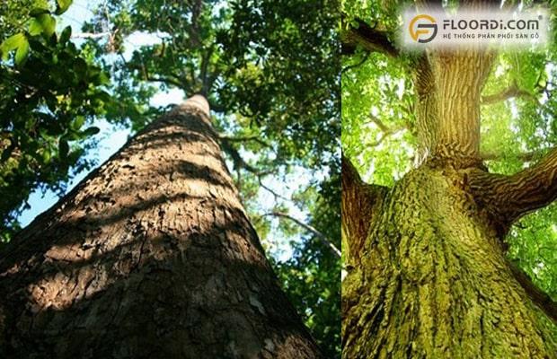 Thân cây có hình tròn thẳng khi trưởng thành