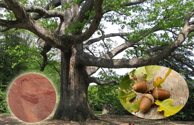 Là loại cây được trồng hoặc tự mọc nhiều ở Lào, Nam Phi và Việt Nam