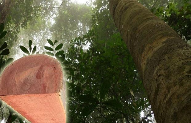 Thân cây có chứa tinh dầu titan nên cho khả năng chống mối mọt tốt
